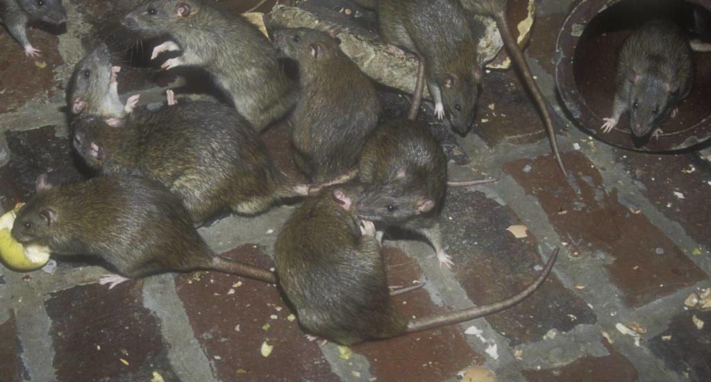 уничтожение крыс в Щелкове